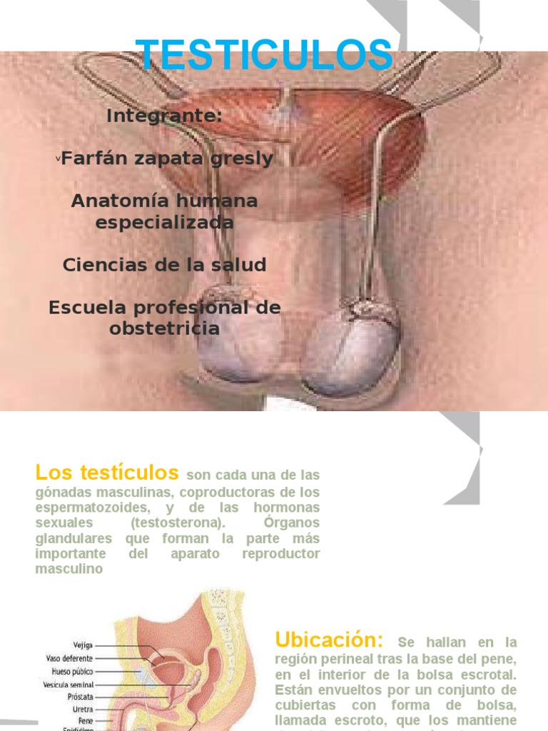 Diapositivas de Anatomia Testiculos