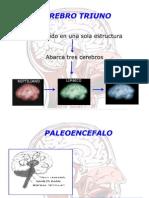 Cerebro Triuno Diapositiva Jhon
