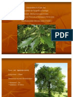 Cer - Quercus