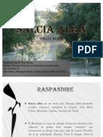SALCIA ALBA