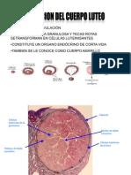 34262373-CUERPO-LUTEO-histologia