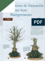 Proceso de formación de un Acer Burgerianum