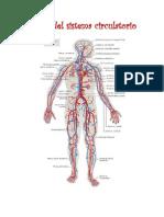 Partes Del Sistema Circulatorio