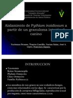 Pythium insidiosun Canino