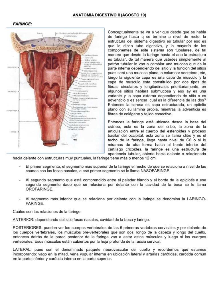 Anatomia Digestivo II (Agosto 19)