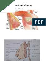 Anatomi Mamae