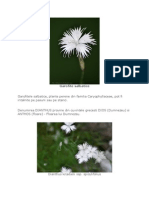 Garofite salbatice