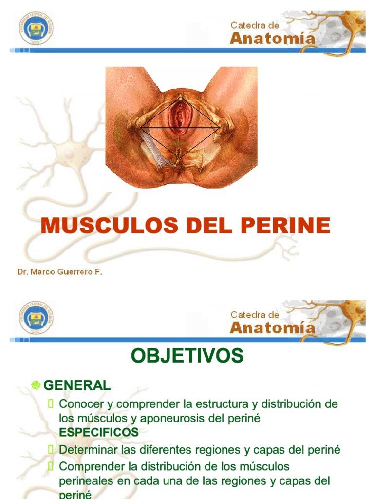 Musculos Del Perine