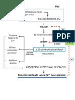 esquema activación vit d y efecto de la vit d en el control de la concentración plasmática de calcio
