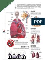 Sistema respiratorio lamina1037613091