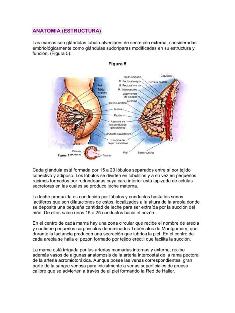 Asombroso Anatomía De La Lactancia Materna Embellecimiento ...