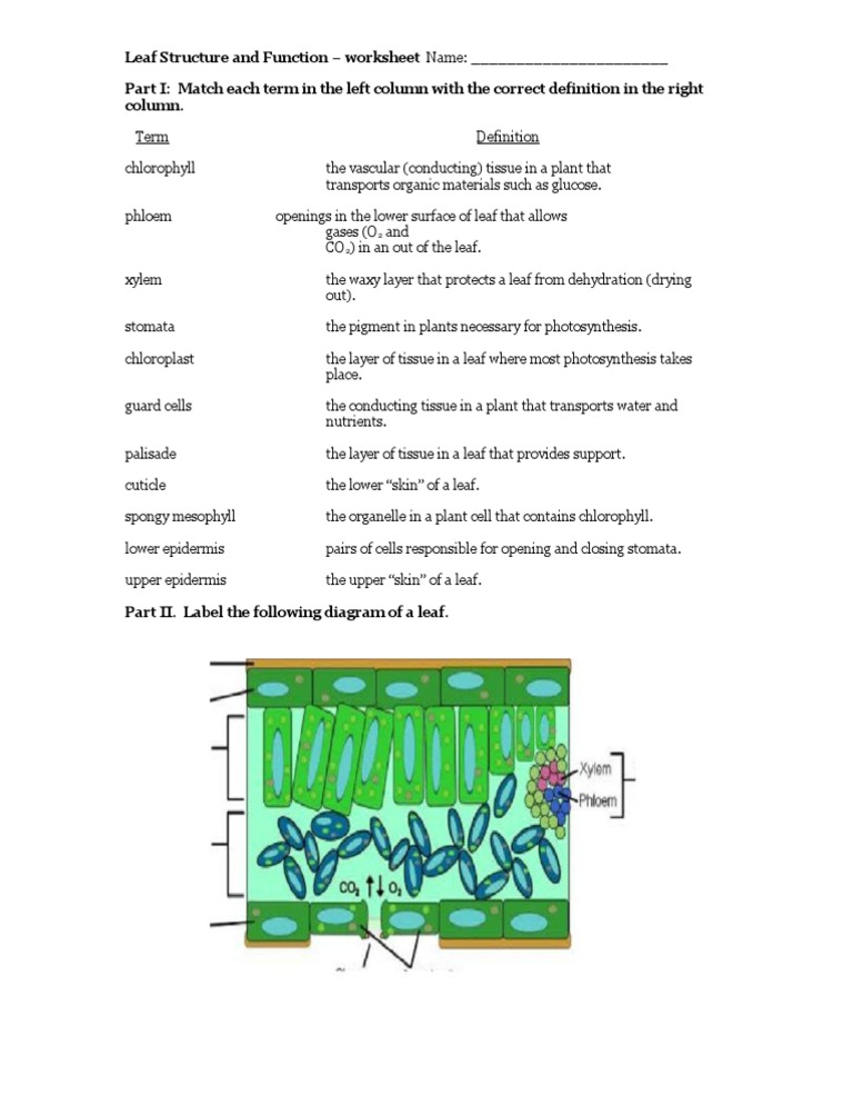 Leaf Structure and Function - Worksheet 2 | Leaf | Tissue ...
