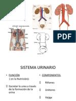 Diapositivas Sistema Urinario Cuatro