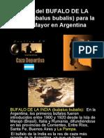 Origen Del Bufalo de La India La Pampa