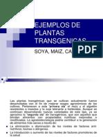 Ejemplos de Plantas Transgenicas