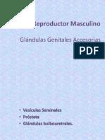 Glándulas Genitales Accesorias