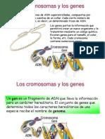 cromosomasygenes-091202181052-phpapp01 (1)