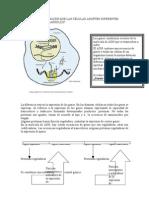 diferenciacin celular