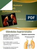 glandulas suprarrenales-anatomia
