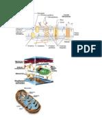 celula y organelos