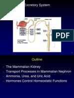 Excretory Kidney