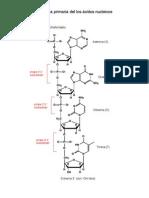 estructura primaria de los ácidos nucleicos