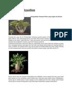 Bunga Pachypodium