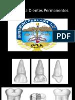 anatomia dientes permanentes