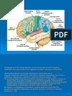 Estructura y fisiología del órgano fonético