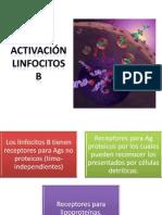 activación linfocitos b