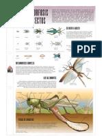 La Metamorfosis de Los Insectos