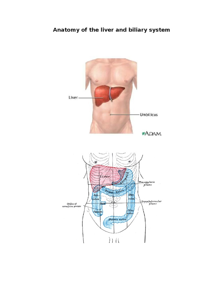 Anatomy of the Liver and Biliary System | Liver | Gallbladder