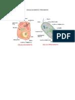 Celula Eucariota y Pro Car Iota