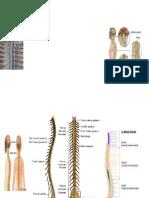 medula espinal exposicion[1]
