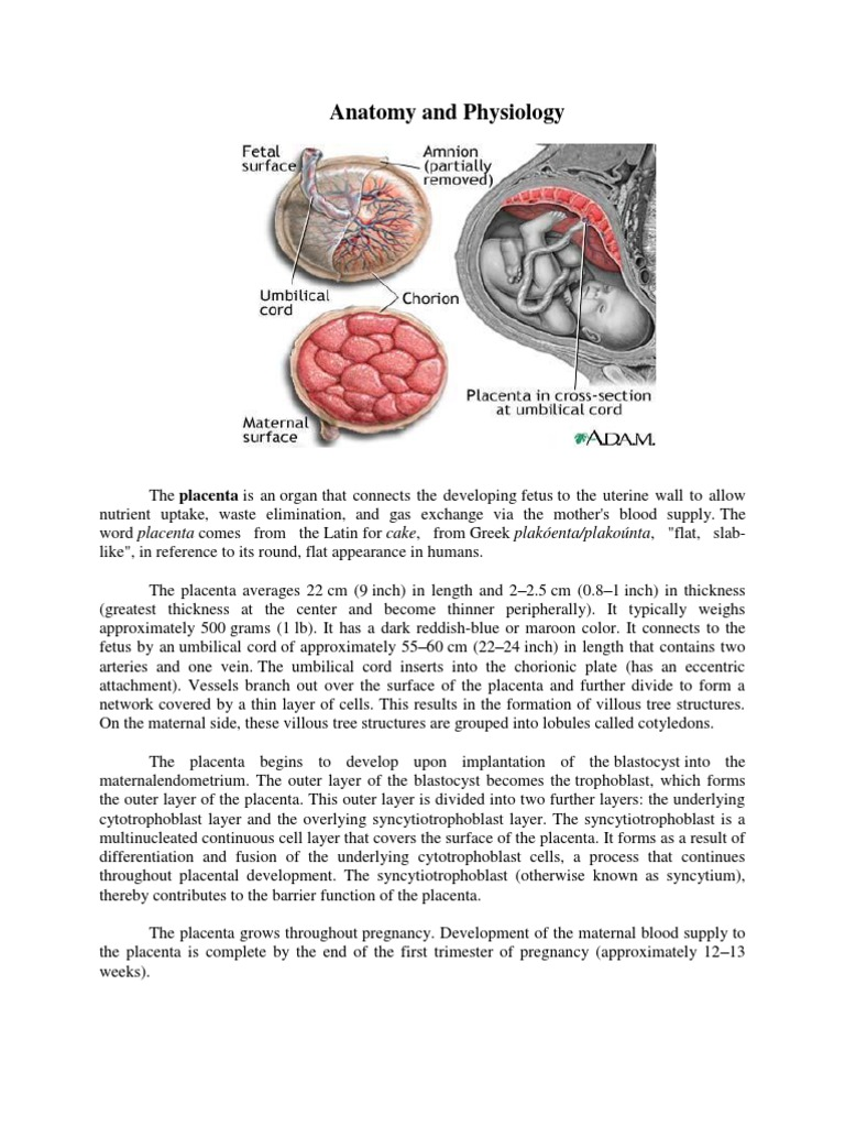 Anatomy and Physiology of Placenta | Placenta | Human Reproduction