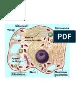 Esquema cèl·lula