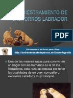 Adiestramiento de Cachorros Labrador