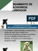 Entrenamiento de Cachorros Labrador