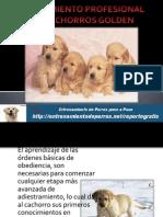 Entrenamiento Profesional Para Cachorros Golden