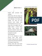 Bulbophyllum biflorum