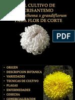 El Cultivo de Crisantemo
