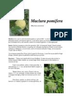 Raport de cercetare - Maclura pomifera