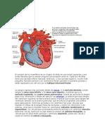 anatomia El corazón