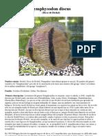 Symphysodon discus - disco de heckel