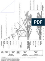 Rice Growth Stages