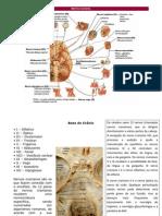 Fi - Nervos cranianos