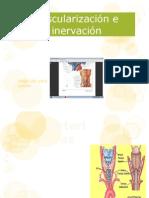 Vascularización e inervación glandula tiroides