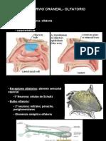 8va Clase Cabeza - Inervacion de Cabeza - Dr. Correa