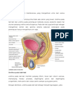 Anatomi Urethra Pada Pria by Nita