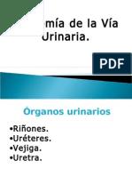 anatomia_s._.urinario